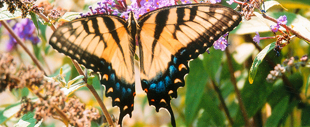North Carolina State Butterfly - Eastern Tiger Swallowtail